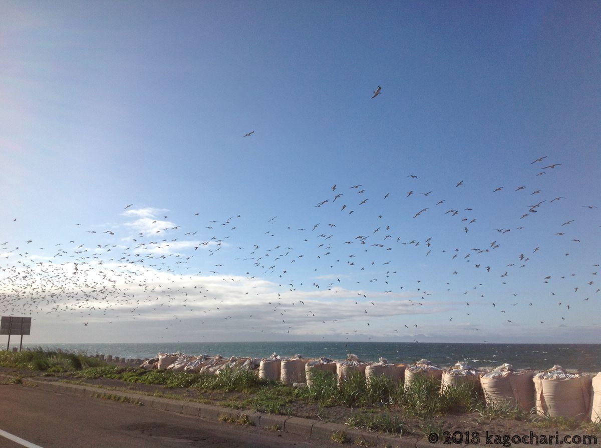 野付半島の上空を舞う鳥の大群
