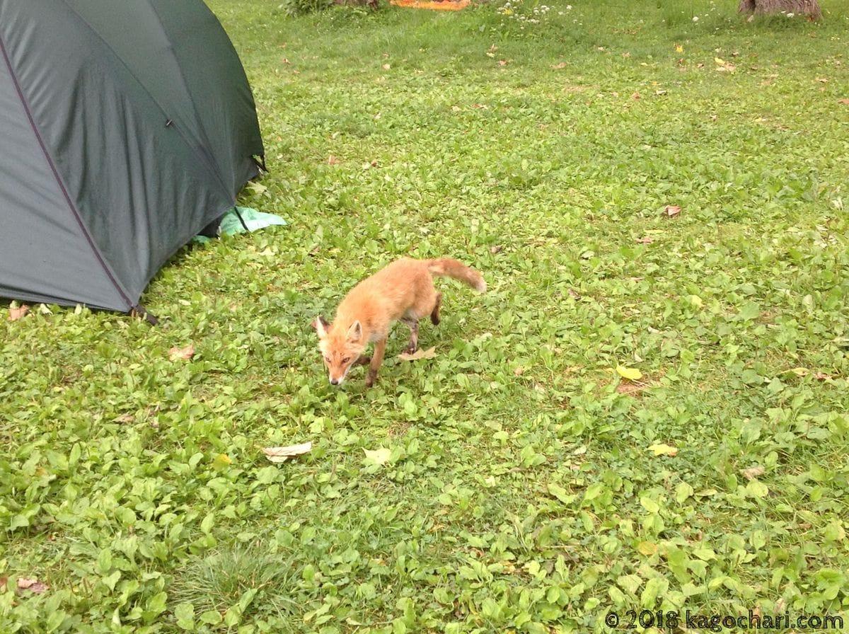 国設知床野営場にキツネが現れる