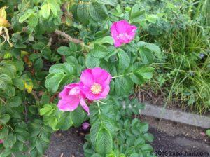 小清水原生花園-ハマナス