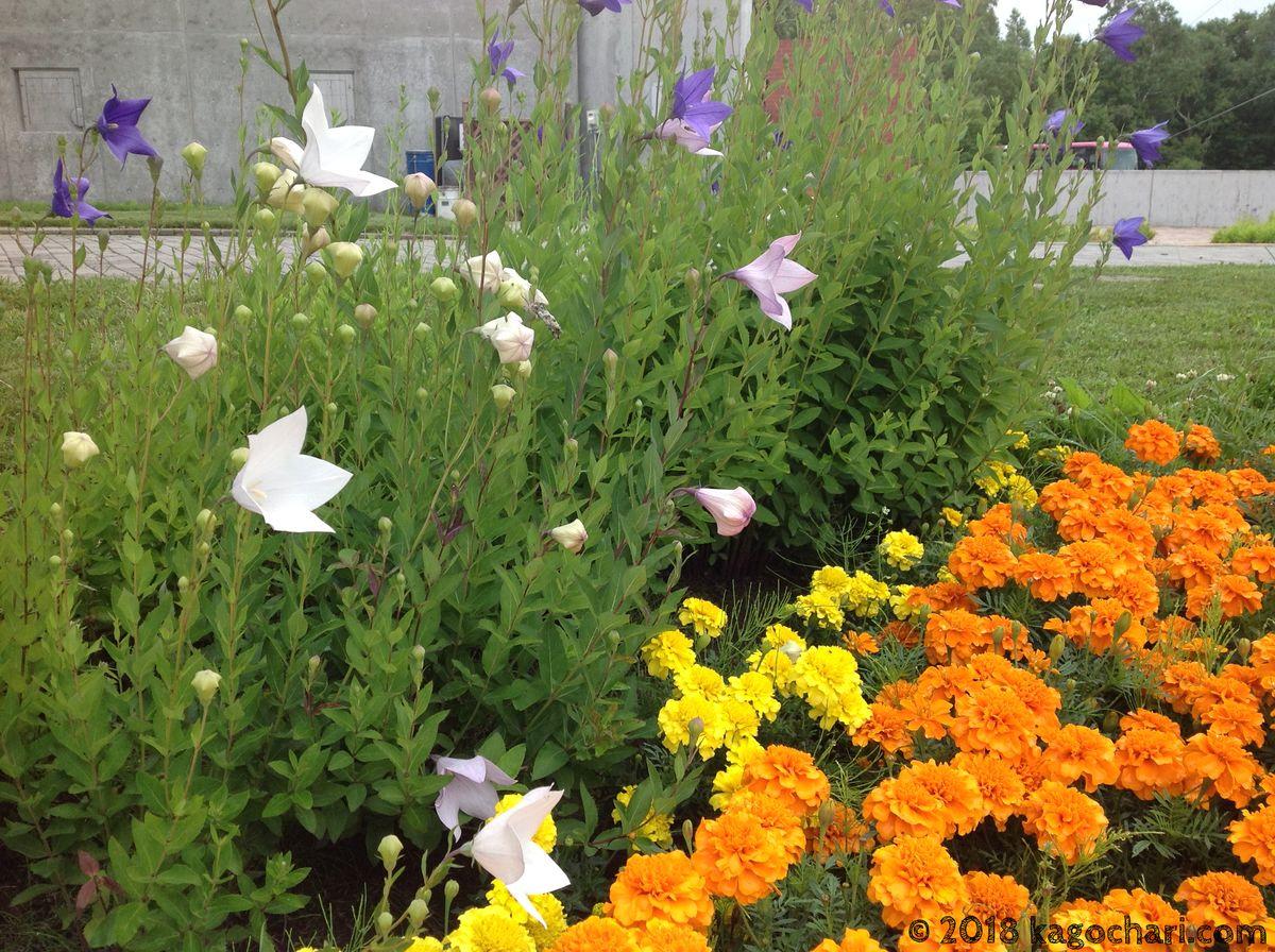 キキョウとマリーゴールドの花
