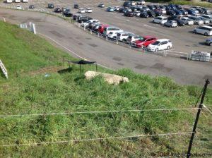 おたる水族館で草刈りをする羊