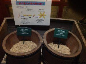 大麦を触る