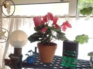 シクラメンが開花していた