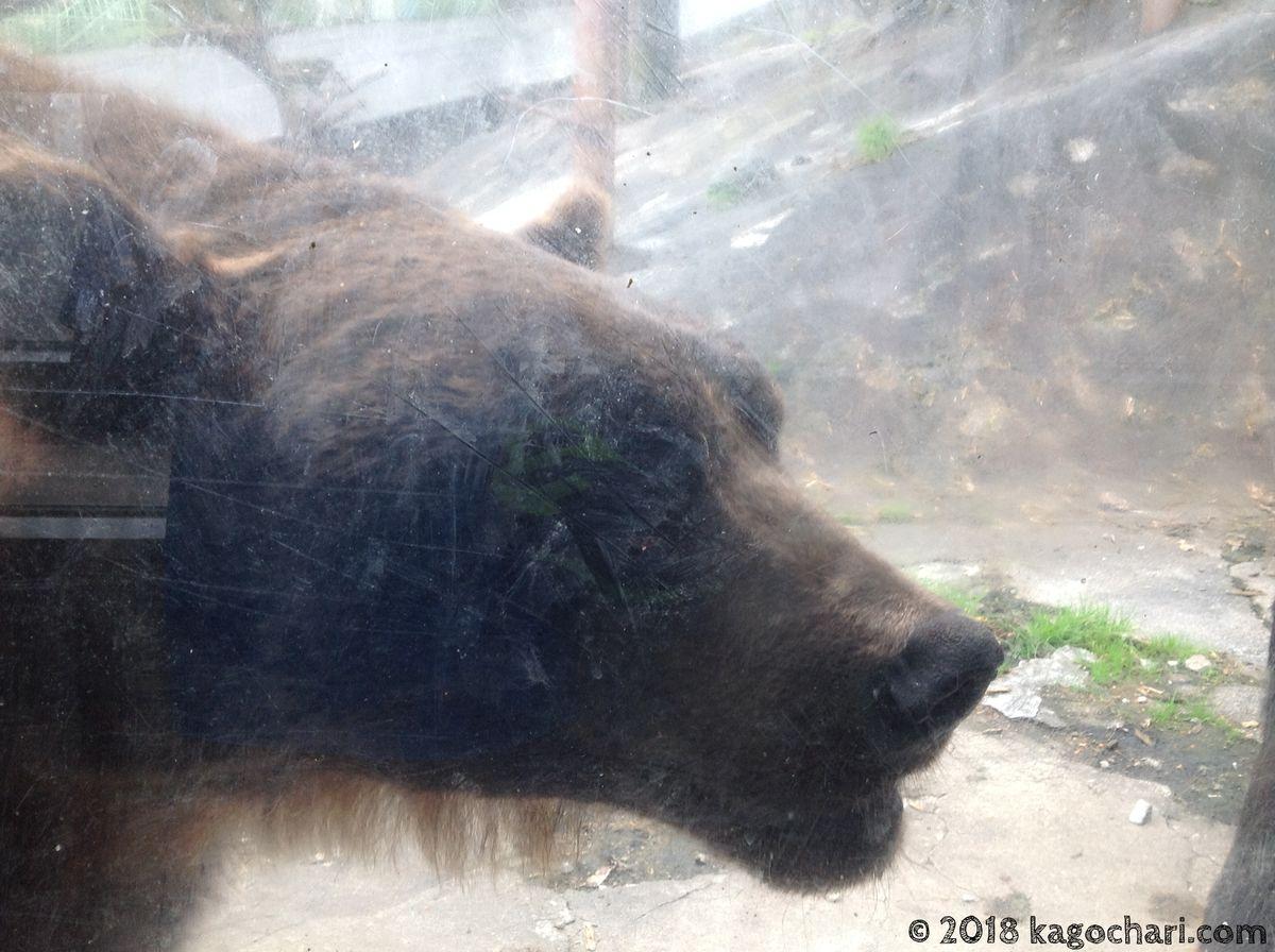 のぼりべつクマ牧場-ガラス越しのクマ