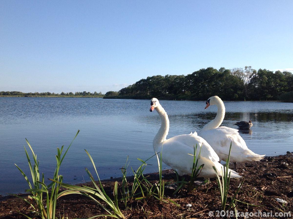 ウトナイ湖と2羽の白鳥