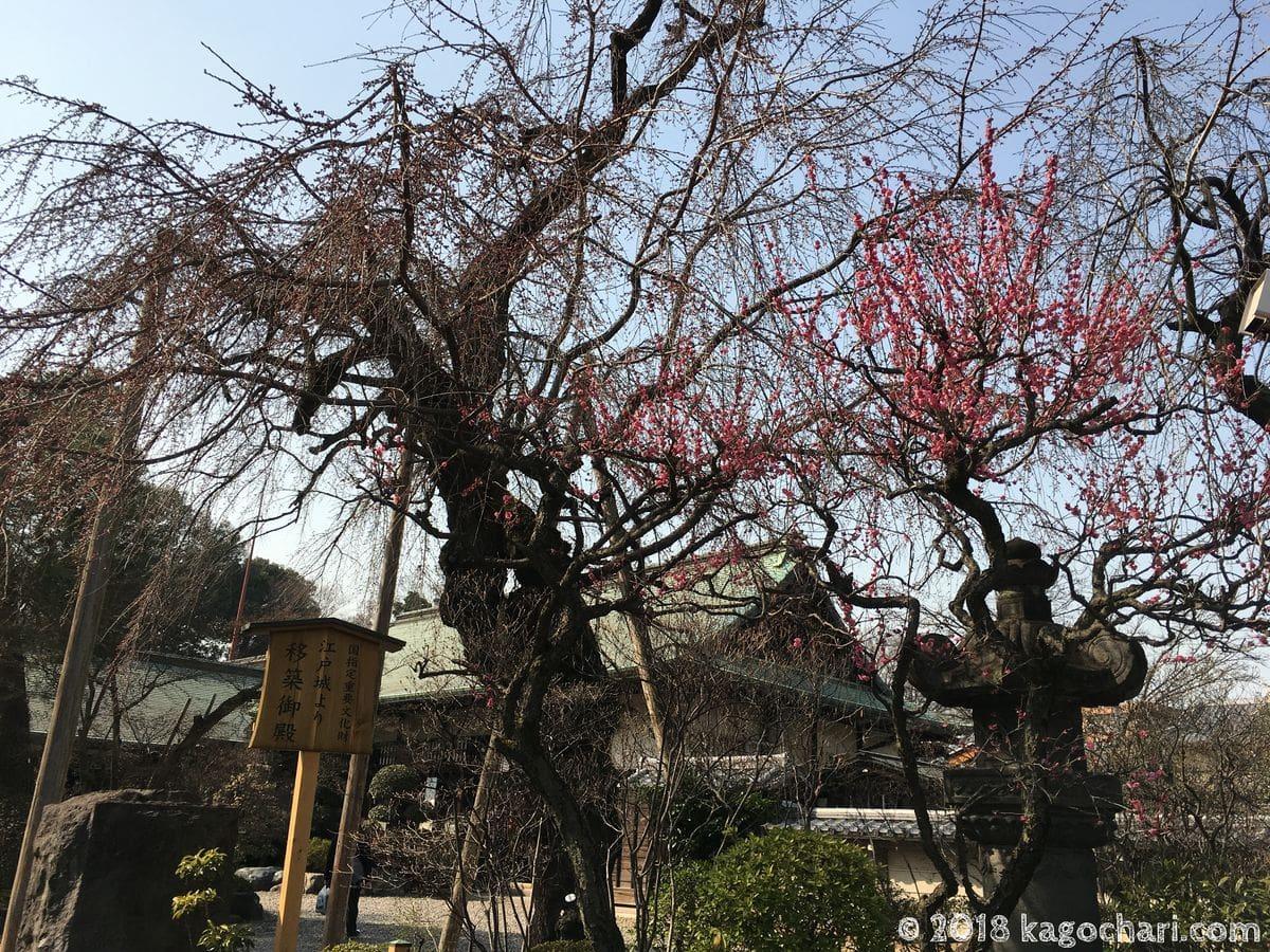 川越の梅の花